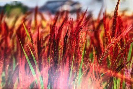 古代稲の集い「赤米」@SHIBAURA HOUSE