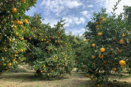 樹齢150年、川根の柚子の古木からつたわる、アロマな夏。柚子こけだま&ラベンダーアイマスクづくり@イオンモール広島府中ママトコワークショップ(8/24,25)